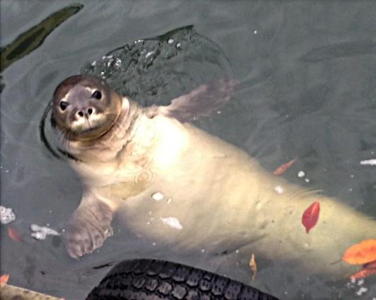 Monk Seal